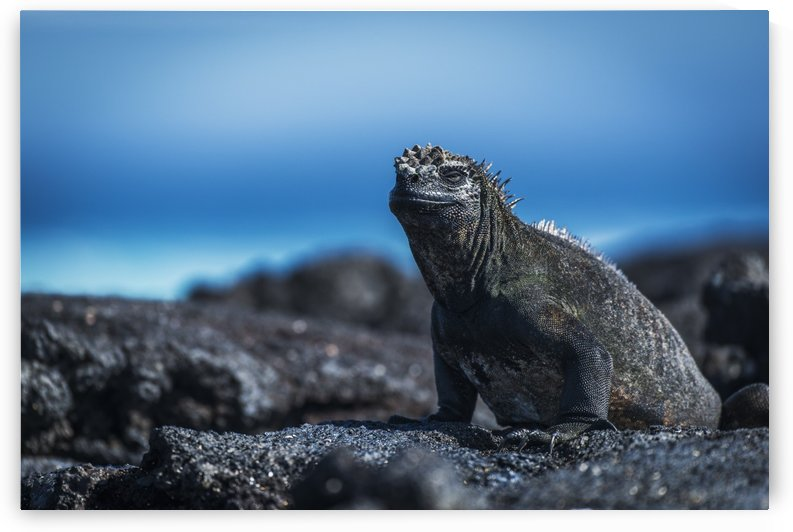 Marine iguana (Amblyrhynchus cristatus) sunbathing on black volcanic rocks; Galapagos Islands, Ecuador by PacificStock