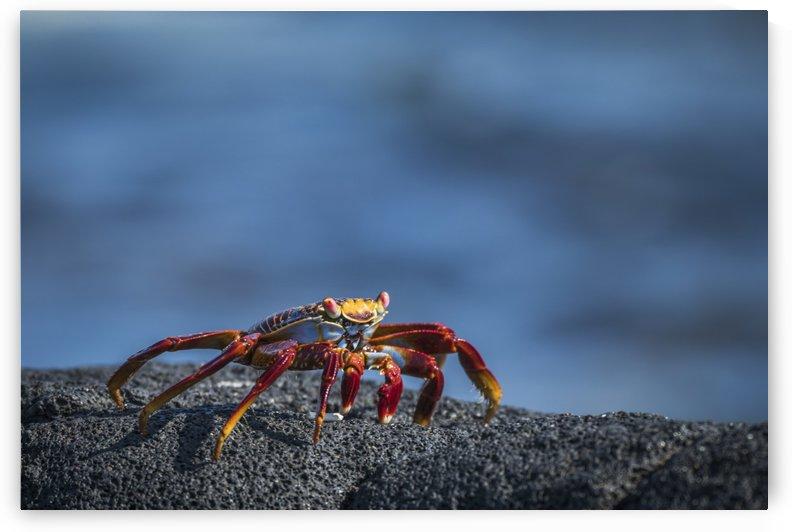 Sally Lightfoot crab (Grapsus grapsus) on grey volcanic rock; Galapagos Islands, Ecuador by PacificStock