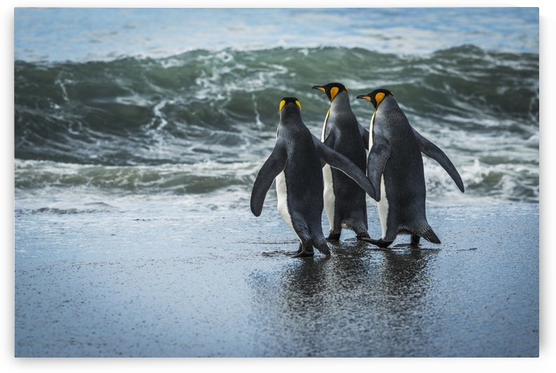 Three king penguins (Aptenodytes patagonicus) walking on sandy beach; Antarctica by PacificStock
