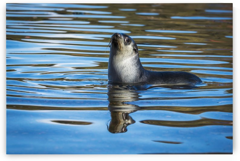 Antarctic fur seal (Arctocephalus gazella) reflected in rippled water; Antarcitca by PacificStock