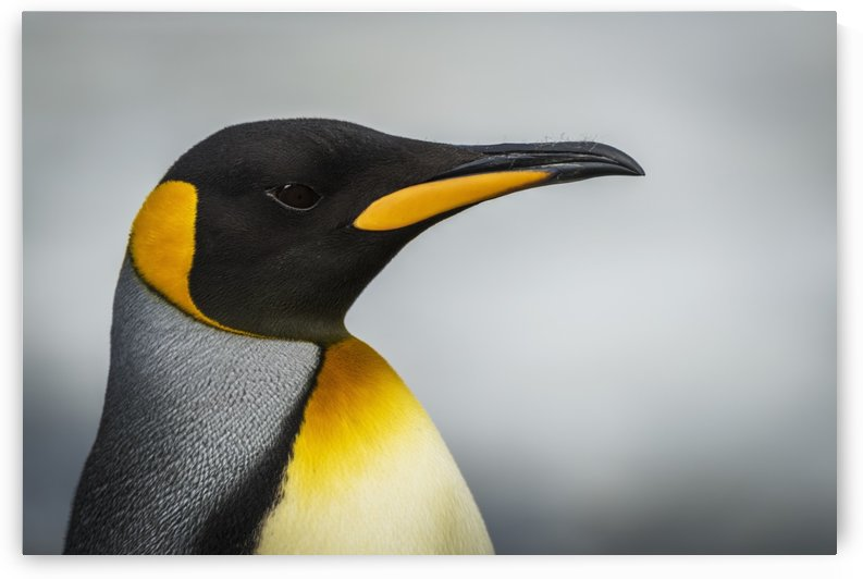 Close up of king penguin (Aptenodytes patagonicus) with grey background; Antarctica by PacificStock