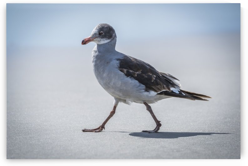 A juvenile dolphin gull (Leucophaeus scoresbii) walks on a sandy beach in the sunshine with the sea in the background. It has a grey and white breast, brown wings, a multi-coloured head and an orange beak and legs; Antarctica by PacificStock