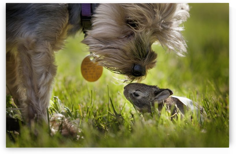 A cute Yorkie dog sniffing a little baby bunny rabbit nestled in the grass; Kentucky, United States of America by PacificStock