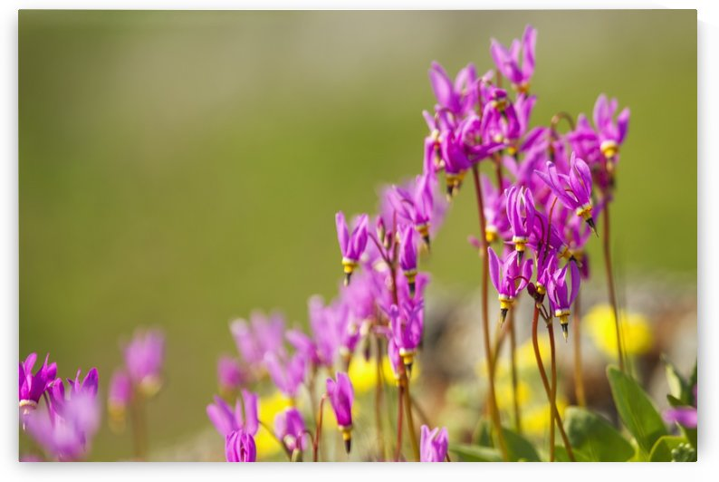 Shooting star (Dodecatheon pulchellum) basking in the spring sun on Kelgaya Point near Haines; Alaska, United States of America by PacificStock