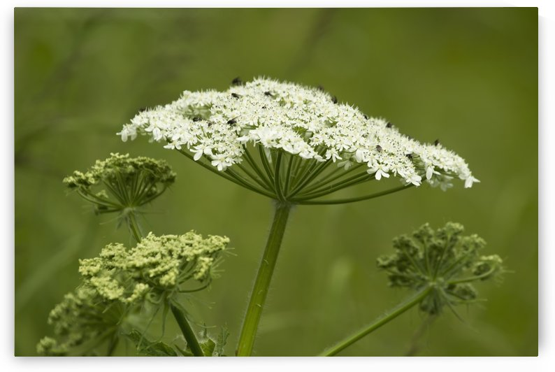 Black flies, a pesky biting insect, crawl across the surface of cow parsnip (Heracleum maximum); Alaska, United States of America by PacificStock