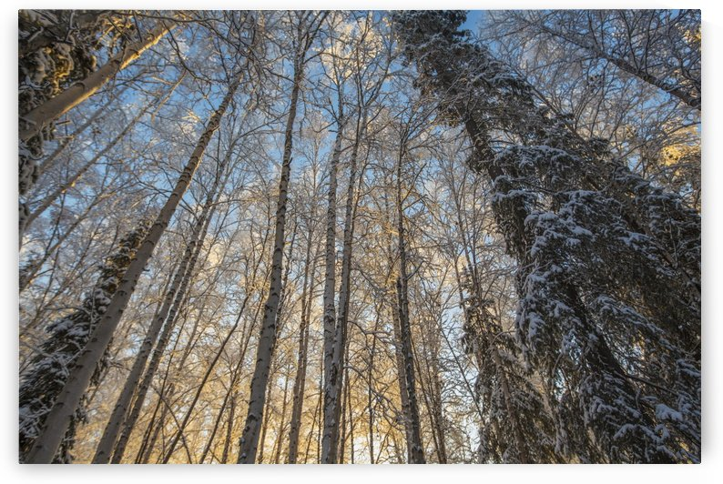 Sunrise illuminated the birch and spruce trees in the forest near Fairbanks, on a winter's morning in subzero temperatures; Alaska, United States of America by PacificStock