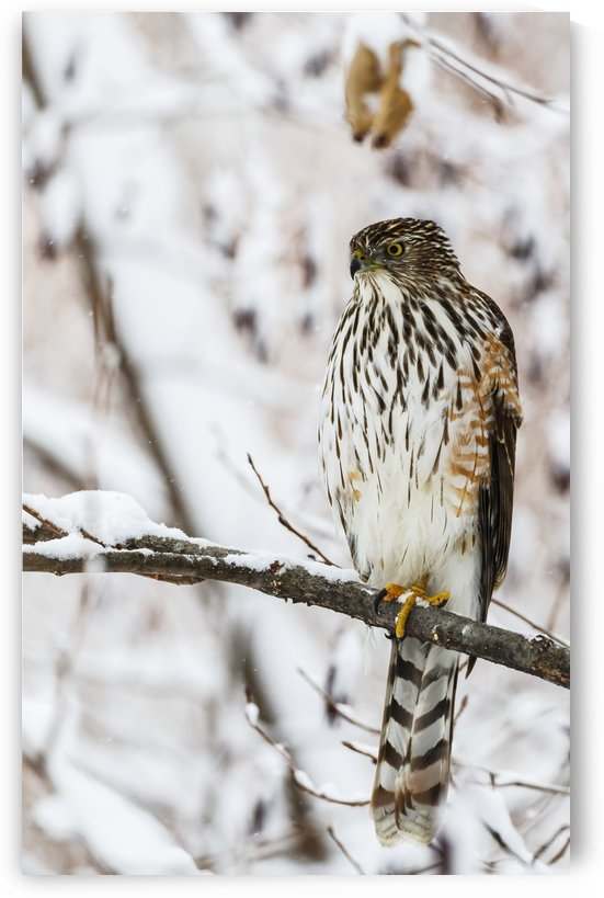 Portrait of a bird sitting on a tree branch in winter; Montreal, Quebec, Canada by PacificStock