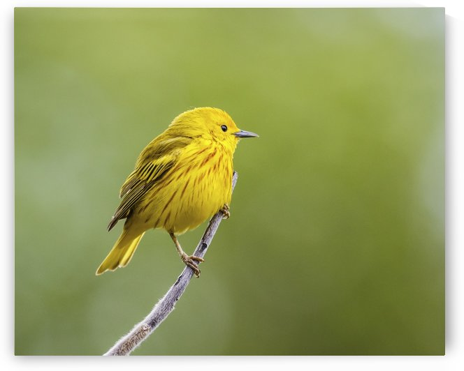 Yellow warbler (Setophaga petechia) perched during spring time; Chateauguay, Quebec, Canada by PacificStock