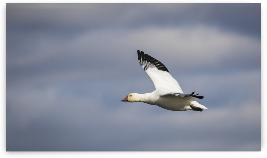 Bird flying with a blue a white sky in the background; Boucherville, Quebec, Canada by PacificStock
