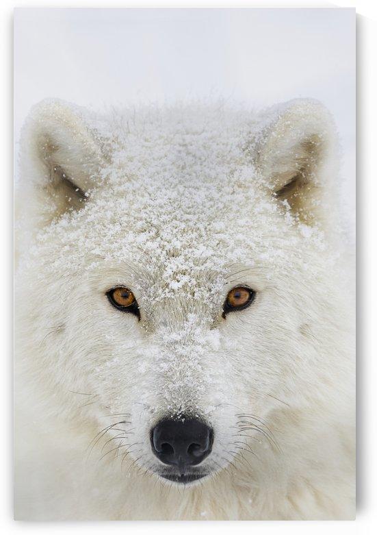 Arctic wolf (Canis lupus arctos) portrait; Montebello, Quebec, Canada by PacificStock