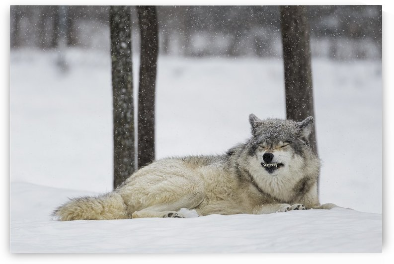 Grey wolf (Canis lupus) showing submission behaviour; Montebello, Quebec, Canada by PacificStock