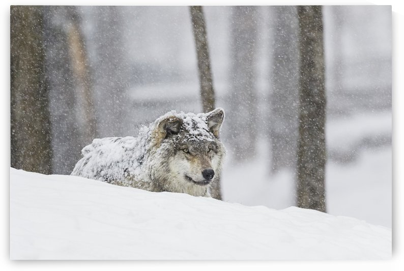 Grey wolf (Canis lupus) during a snow storm; Montebello, Quebec, Canada by PacificStock