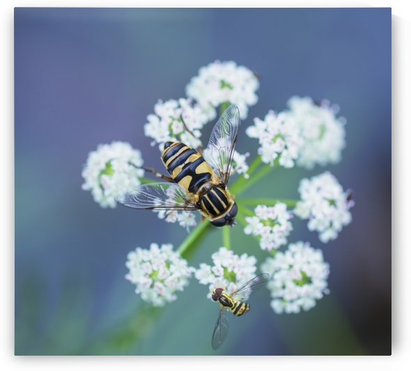 Two hover flies on a white wildflower; Ontario, Canada by PacificStock