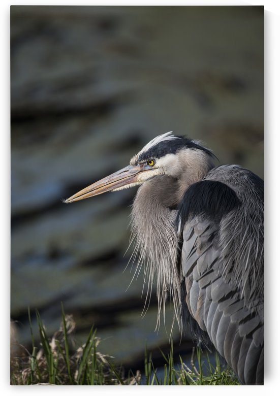 A Great Blue Heron (Ardea herodias) waits patiently for a fish to swim into range; Ridgefield, Washington, United States of America by PacificStock