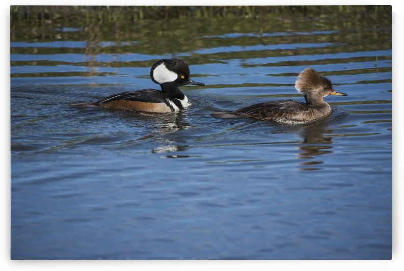 A pair of Hooded Mergansers (Lophodytes cucullatus) swim near the auto tour route at Ridgefield National Wildlife Refuge; Ridgefield, Washington, United States of America by PacificStock