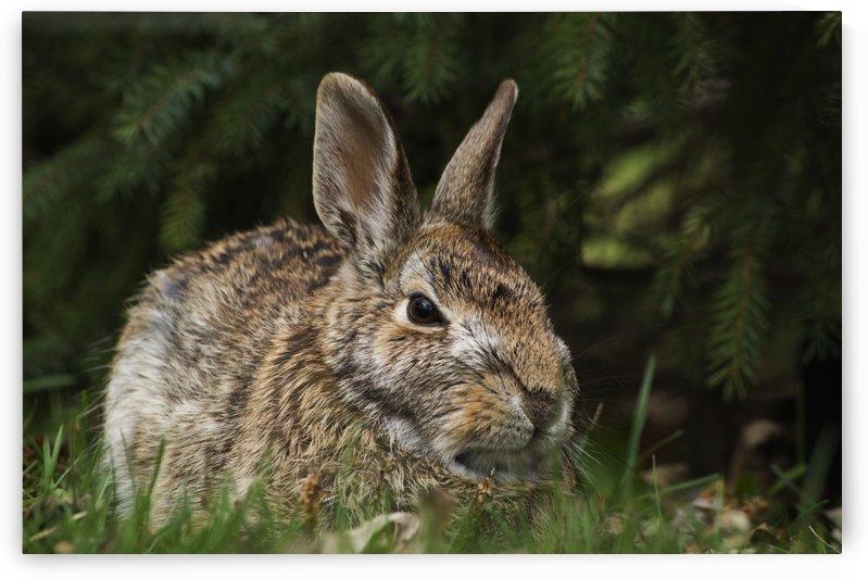 Cottontail rabbit (Sylvilagus floridanus); Les Cedres, Quebec, Canada by PacificStock
