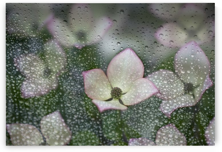 Raindrops on glass with a view of pink dogwood blossoms; British Columbia, Canada by PacificStock
