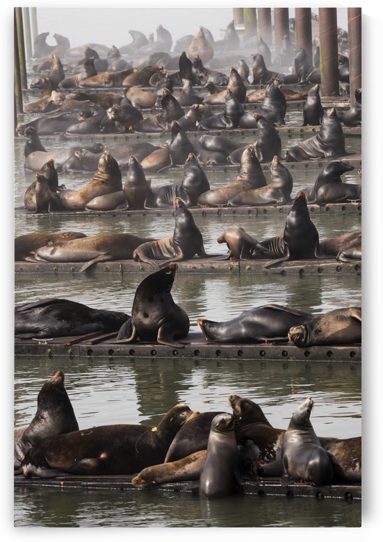 California Sea Lions (Zalophus californianus)) haul out on the docks; Astoria, Oregon, United States of America by PacificStock