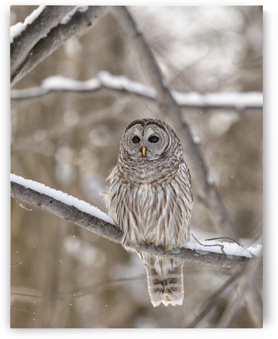 Barred owl (Strix varia); Boucherville, Quebec, Canada by PacificStock