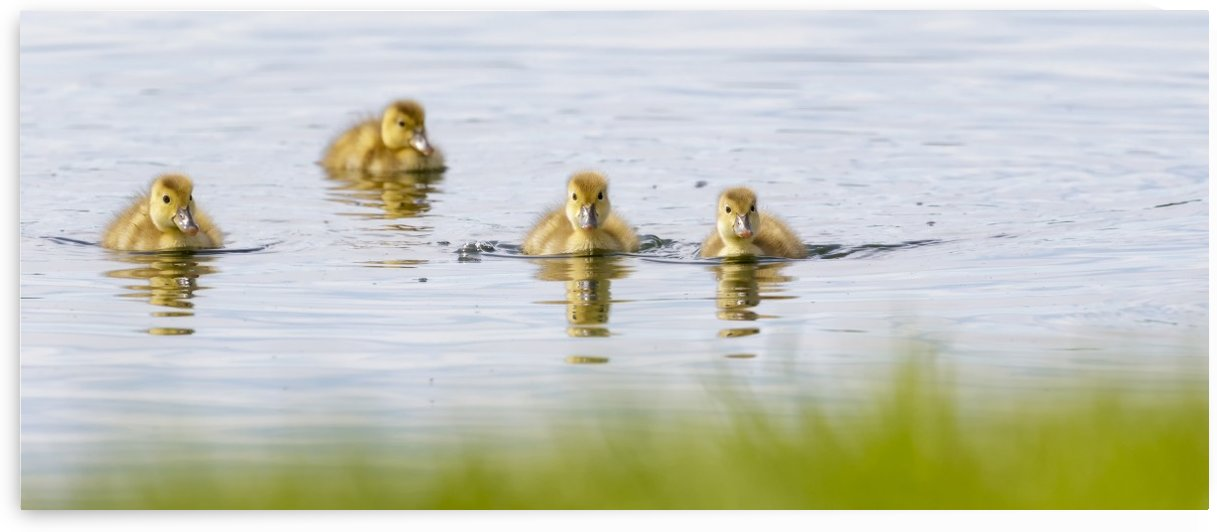 Inquisitive ducklings; Baie-du-Febvre, Quebec, Canada by PacificStock