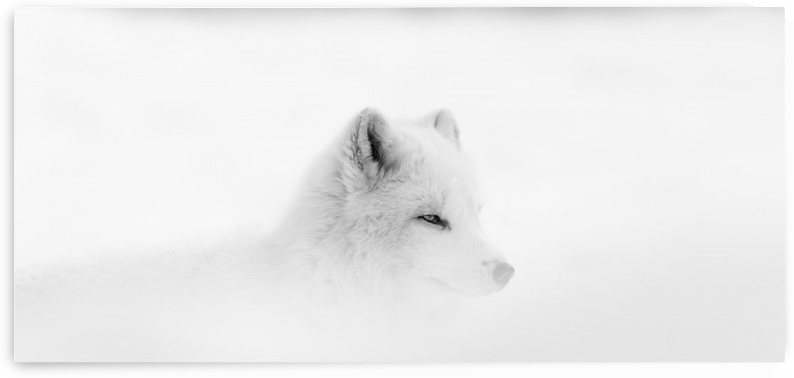 Arctic wolf (Canis lupus arctos) during a snow storm; Montebello, Quebec, Canada by PacificStock