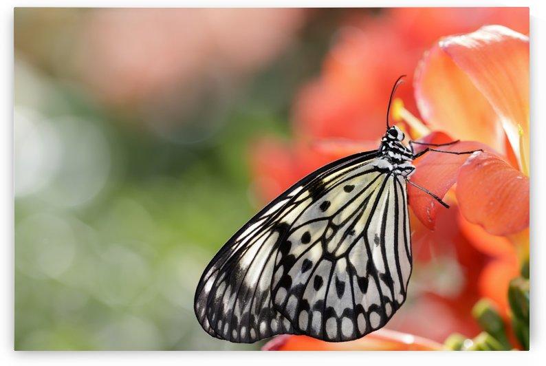 Rice paper butterfly (Idea leuconoe) portrait; Montreal, Quebec, Canada by PacificStock
