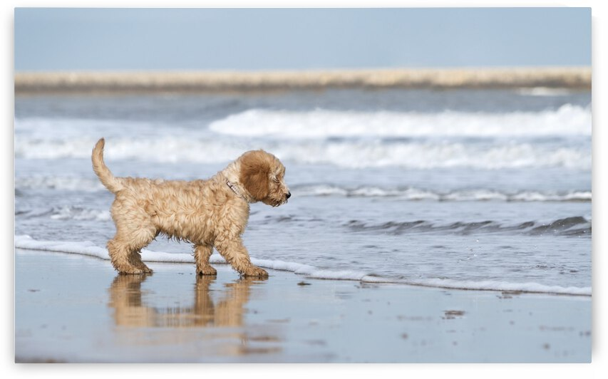 A dog stands on the beach at the edge of the surf; South Shields, Tyne and Wear, England by PacificStock