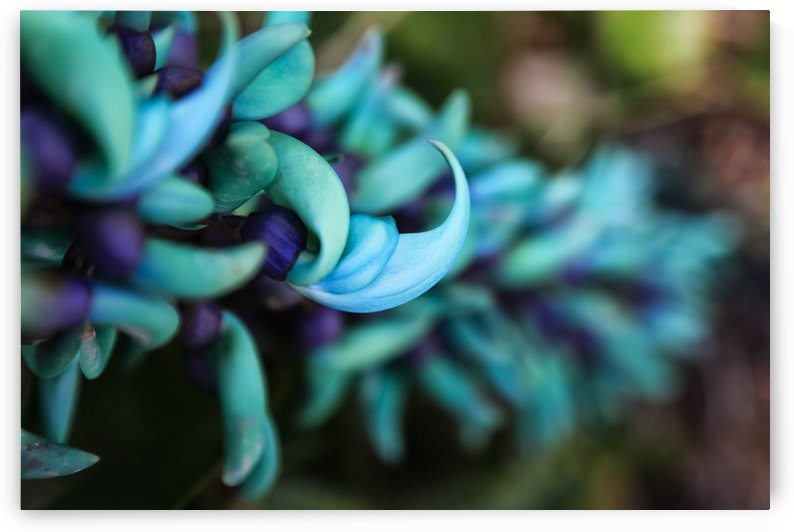 Blue jade plant with purple flowers; Hawaii, United States of America by PacificStock