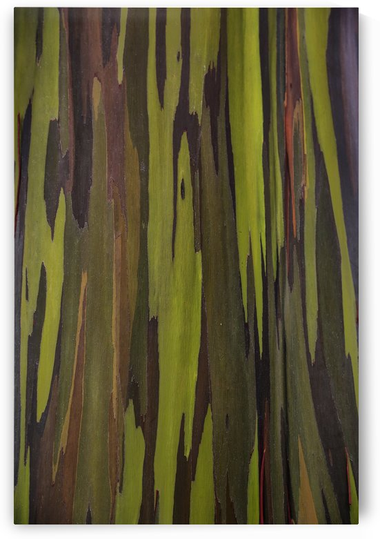 Bark of the Rainbow Eucalyptus (Eucalyptus deglupta); Hawaii, United States of America by PacificStock