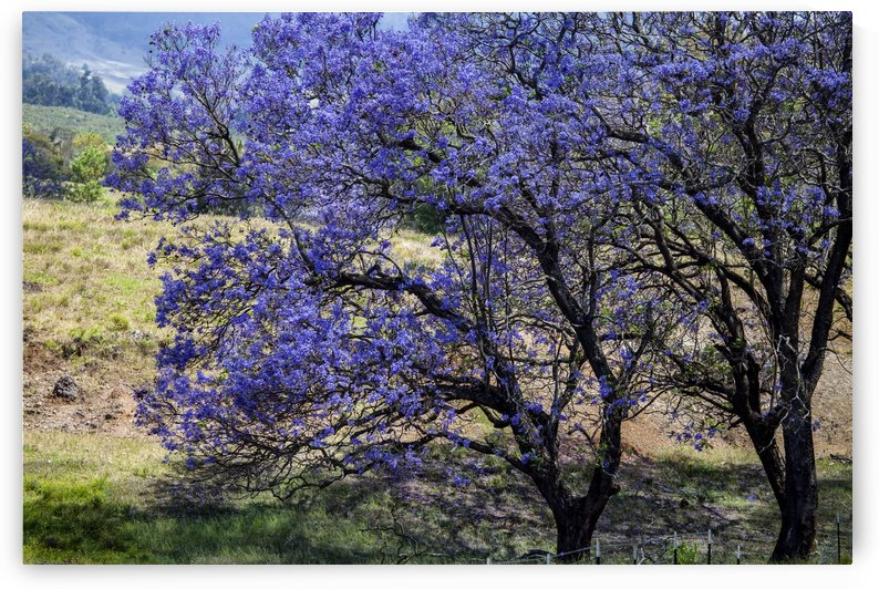 A Jacaranda tree full of purple blossoms; Maui, Hawaii, United States of America by PacificStock