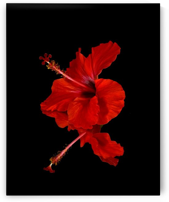 Close up of a red Hibiscus flower on a black background; Maui, Hawaii, United States of America by PacificStock