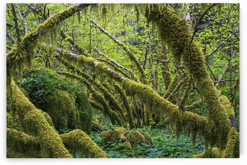 Moss grows on vine maple trees (Acer circinatum); Hamlet, Oregon, United States of America by PacificStock