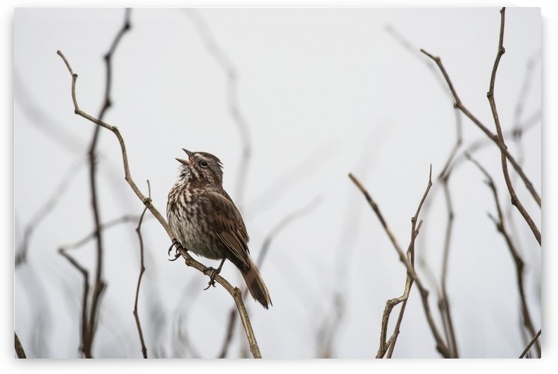 A song sparrow (Melospiza melodia) sings; Newport, Oregon, United States of America by PacificStock