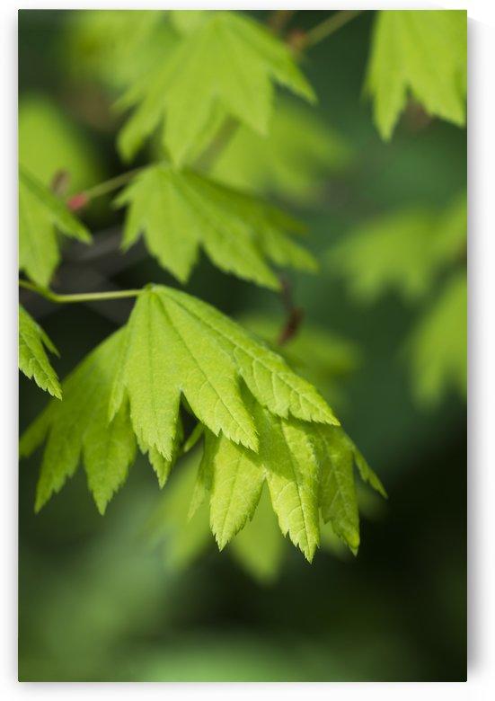 Bright vine maple leaves (Acer circinatum); Hamlet, Oregon, United States of America by PacificStock