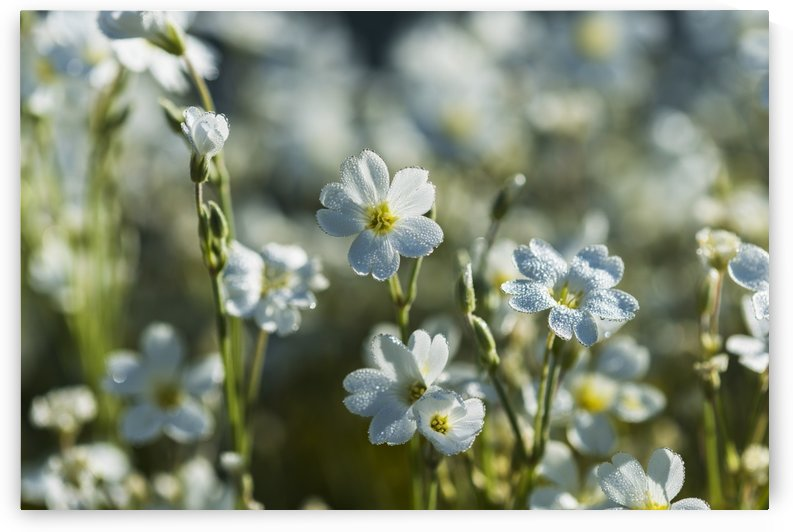 Chickweed (Stellaria media) blooms profusely in the spring; Astoria, Oregon, United States of America by PacificStock