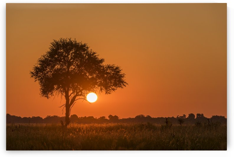 Backlit grass and silhouetted tree at sunset; Botswana by PacificStock