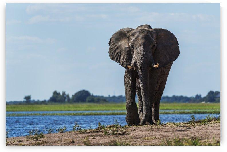 Elephant (Loxodonta africana) on riverbank walking straight towards camera; Botswana by PacificStock