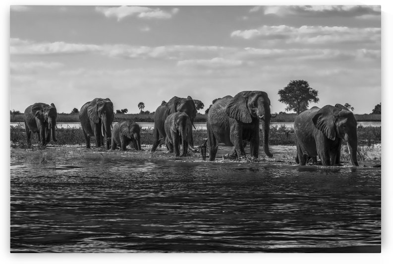 Line of elephants (Loxodonta africana) crossing river in sunshine; Botswana by PacificStock