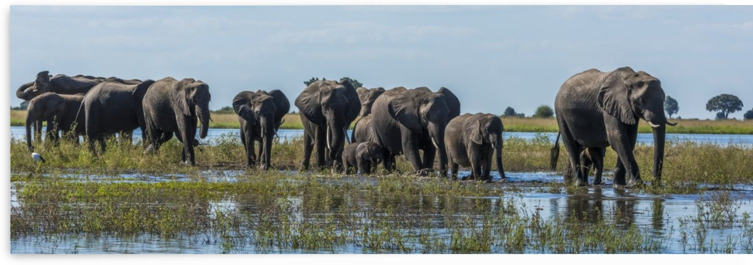 Panorama of elephants (Loxodonta africana) crossing shallow muddy river; Botswana by PacificStock