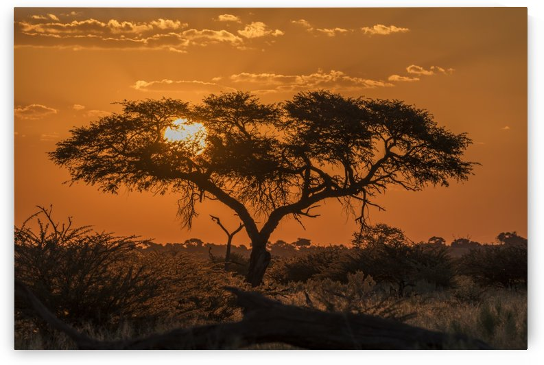 Silhouette of acacia tree at orange sunset; Botswana by PacificStock