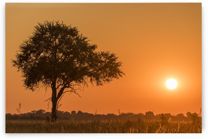 Silhouetted tree at sunset under orange sky; Botswana by PacificStock