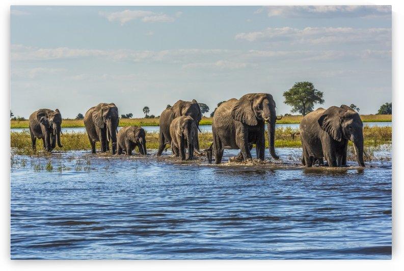 Line of elephants (Loxodonta africana) crossing river in sunshine; Botswana by PacificStock