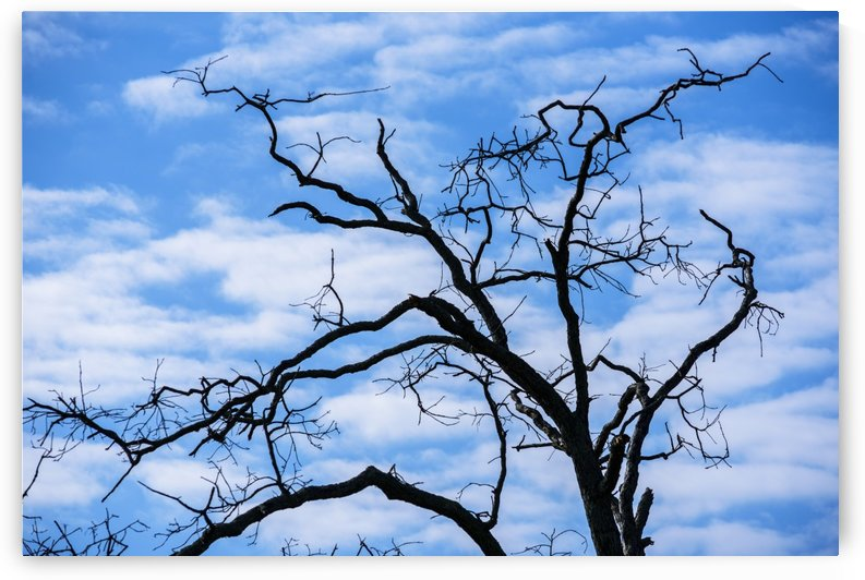 A dead tree is silhouetted against the sky; Tahlequah, Oklahoma, United States of America by PacificStock