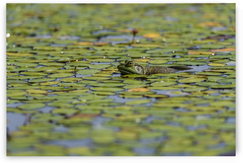 An American bullfrog (Lithobates catesbeianus) rests in a pond; Tahlequah, Oklahoma, United States of America  by PacificStock