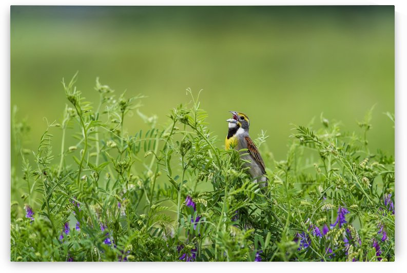 A male Dickcissel (Spiza americana) singing; Vian, Oklahoma, United States of America by PacificStock