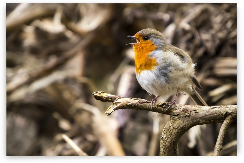 European robin (Erithacus rubecula) singing; Blarney, Munster, Ireland by PacificStock