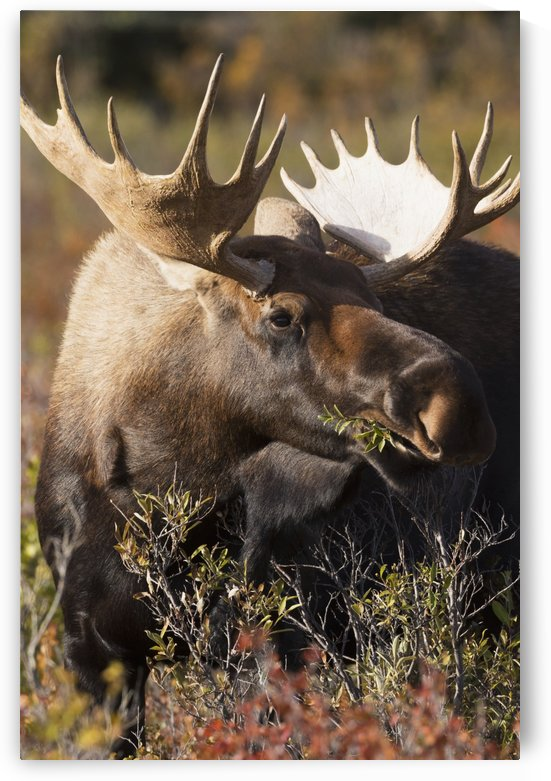 Bull moose standing in Autumn foliage, Denali National Park and Preserve, Interior Alaska by PacificStock