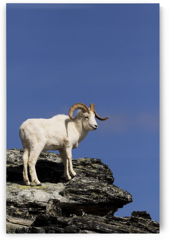 Dall sheep ram in Denali National Park & Preserve in Interior Alaska, spring by PacificStock