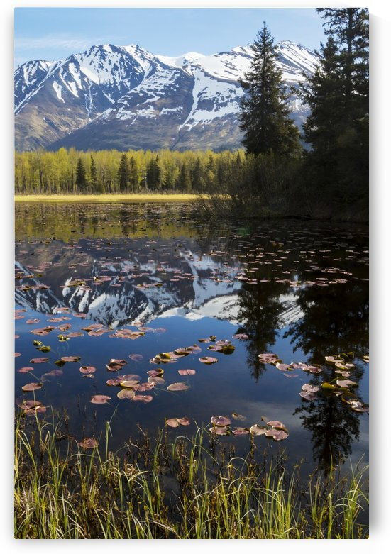 Scenic view of lily pads on a pond with the Chugach mountains in the background, Southcentral Alaska, spring by PacificStock