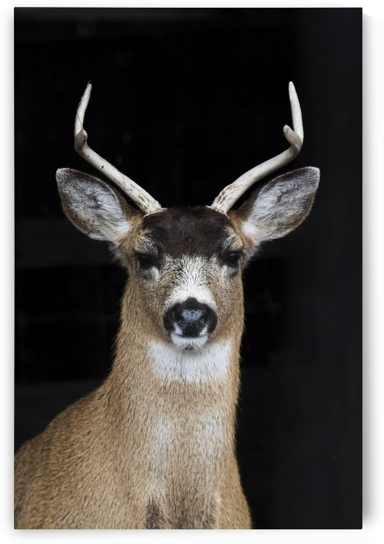 A Sitka Black-tail deer buck (Odocoileus hemionus sitkensis) looks at camera, has shed his velvet from his antlers, Alaska Wildlife Conservation Centre; Alaska, United States of America by PacificStock